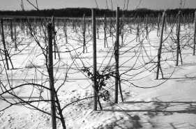 Image of apple orchard in winter with crabapple tree with fruit.