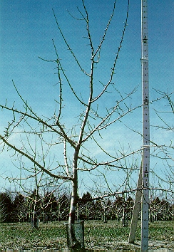 Image of dormant tree with measuring stick.