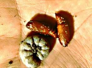 Figure 3. Variegated cutworm and pupae