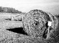 Large round bales of retted hemp stalks.