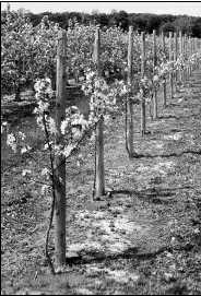 The modern apple orchard is characterized by higher tree numbers typically ranging from a planting density of 1,000-1,500 trees/ha (400- 600 trees/ac.)