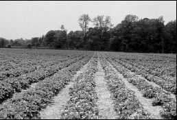 The matted row is the most common growing system for strawberries in Ontario. Wheat straw mulch applied in the fall is normally removed from the rows in late April.