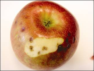 A single apple is shown exhibiting dark corky pits under a sunken spot on the skin of the 'Honeycrisp'; apple. These pits are about one half centimetre to one centimetre in diameter.