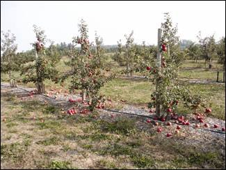 Several 'Honeycrisp'; trees about 7 feet tall and staked are shown with apples scattered around the base of the trees. A good portion of the crop has let go and fallen to the ground before the grower has had a chance to harvest.