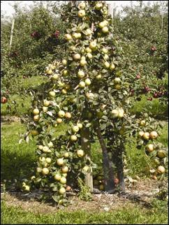 One 'Honeycrisp'; tree on a dwarfing rootstock about 7 feet tall is shown with too many apples left on the tree after fruit set. This results in a profusion of small greenish coloured fruit, none of which are suitable for the fresh market