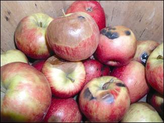 A view of about one dozen 'Honeycrisp'; apples is shown highlighting various rots and decays. Fungicidal treatments in the preharvest stage of growth can help buffer these problems.