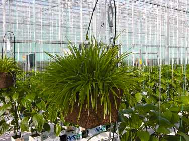 Banker plant in pot hanging from greenhouse support post.