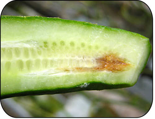 Internal discolouration and rotting of fruit due to gummy stem blight.
