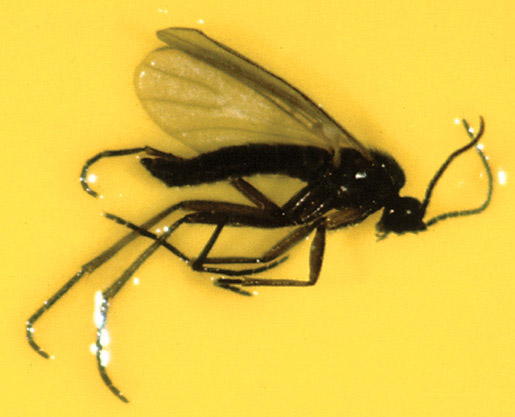 Figure 1. Adult fungus gnat on sticky card resembles a small mosquito, with long legs, thread-like antennae and large compound eyes.