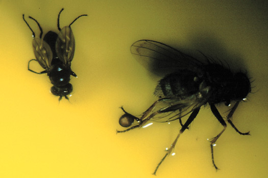 Figure 11.  A size comparison between a shorefly and Coenosia attenuata. Coenosia attenuata is larger and preys on the smaller shorefly.