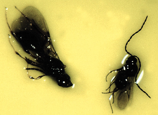 Figure 14. A comparison of Synacra and Hexacola. Synacra is black in colour and has a more elongated abdomen. Hexacola is smaller and has a more spherical abdomen.