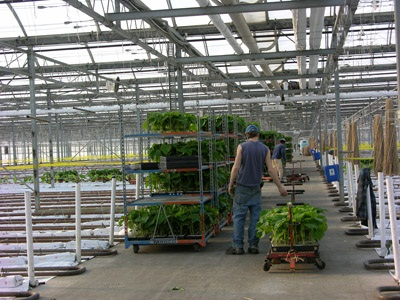 Figure 2. Photo of worker examining transplants about to be planted in production house.