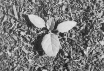 Seedling of eastern black nightshade.