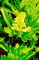 Figure 3. Early Leaflet Damage To Celery From TPB