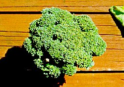 Figure 9. Brown Beading Of Broccoli Caused By TPB Feeding