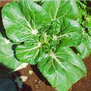 Flat flowering Chinese leaf cabbage.