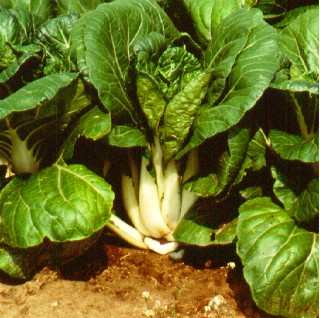 Thick petiole white Chinese leaf cabbage.