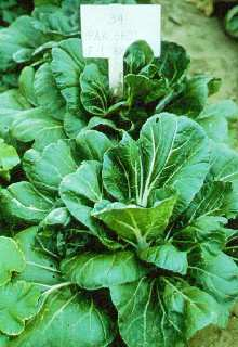 Thin petiole white Chinese leaf cabbage.
