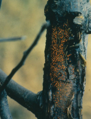 Figure 4-138. Older European canker produces bright orange fruiting bodies during winter