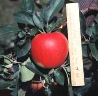 Image of sunrise apple with ruler beside it