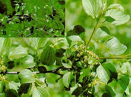 European buckthorn (A - flowering branch; B - branch with black berries)