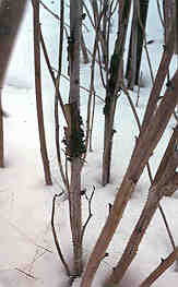 Image of raspberry canes in the winer with cane gall.
