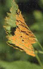 Image with leaf with orange rust.