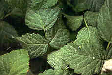 Image of leaves with two spotted spider mite.