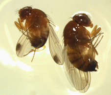 Photo showing male and female SWD flies