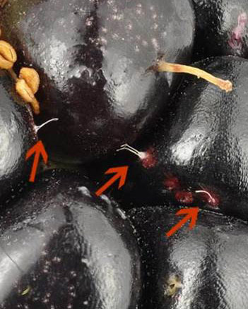Figure 4: The egg's thread-like breathing tubes protrude from the oviposition puncture and are often visible on the fruit surface.