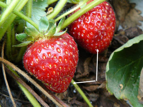 Early signs of damage to strawberries: looks like bruising