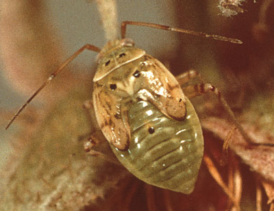 Figure 4-63. Tarnished plant bug nymph