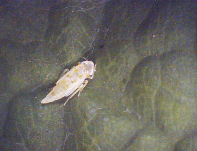 Figure 4-22. White apple leafhopper young nymph