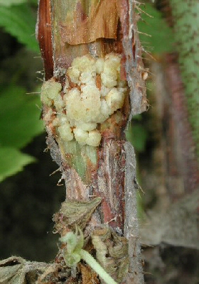 Early symptoms of crown gall on raspberry canes