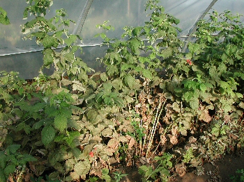 Two-spotted spider mite damage and defoliation