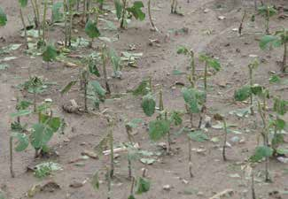 Soybeans with broken stems