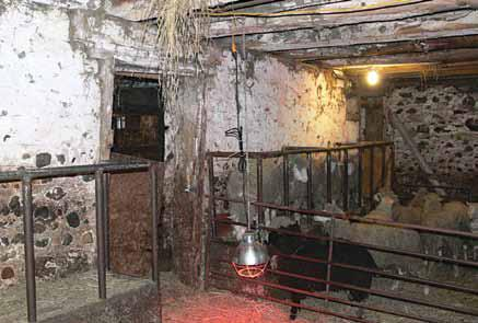 Picture of the correct use of a heat lamp in a pen.  The image shows the interior of sheep pen in an old stone barn.  A group of 6 large sheep are separated from the heat lamp area by a metal gate. The heat lamp is suspended using chain (non-combustible) and it is raised to the correct height above the bedding (combustible) to allow younger animals access to the lamp.