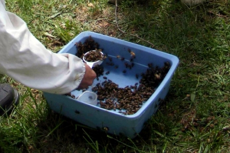 Scooping bees from collecting pan.