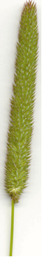 Photo of timothy grass light green in colour with the inflorescence being very dense with a spike-like panicle.