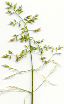 Photo of kentucky bluegrass with the blade v-shaped and a boat-shaped tip.