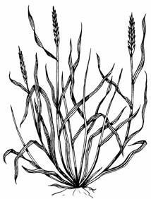 Photo of Quack Grass with long, flat sharp-pointed tip.