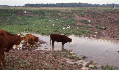 Beef cattle with access to surface water have caused vegetation loss on the stream banks leading to increased rates of soil erosion.