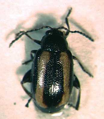 Picture of a flea beetle