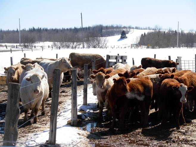 Photo of cows and calves at fenceline