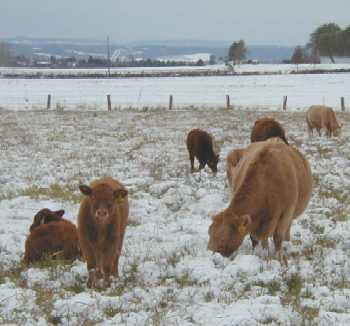 Picture of cattle grazing in winter pasture