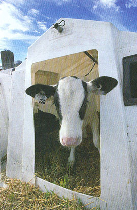 Image of calf in calf hut