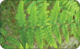 A photo showing that the sub-leaflets of bracken fern are lobed at the base but not the tip.
