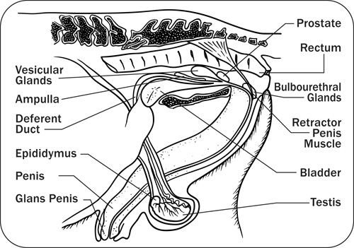 Diagram showing the sagittal view of stallion reproductive structures.