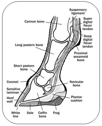 Figure 3.  Detailed cut-away drawing from the side, showing internal parts of the hoof, pastern, fetlock and knee.