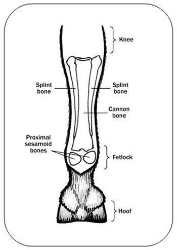 Figure 4.  Diagram of the hoof, fetlock, pastern and knee, from the back.